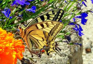 Schwalbenschwanz-Schmetterling